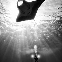 Giant oceanic manta ray, Revillagigedo, Mexico