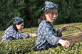 Tea Plantations Organic Shandong Province China