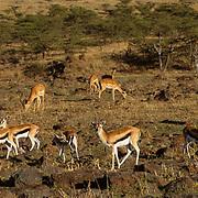 Thomson's Gazelle, (Gazella thomsonii) Herd grazing. Serengeti Plains.Masai Mara Game Reserve. Kenya. Africa.