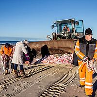 Nederland, Texel, 16 januari 2017.<br />Op Texel is een grote hoeveelheid Coca Cola-wikkels aangespoeld. Volgens de regionale omroep NH zijn de wikkels ook aangetroffen bij andere plekken zoals bij Vlieland, Terschelling en Petten.<br /><br />De wikkels zijn vermoedelijk afkomstig van een van de containers die het schip Red Cedar afgelopen week verloor, schrijft de Texelse Courant. Naast de wikkels worden ook bakjes van foam gevonden.<br />Vrijwilligers zijn zondag bezig geweest veel wikkels op te ruimen van het strand op Texel.<br />Op de foto: Een strandwandelaarster helpt mee.<br /><br /><br /><br />Foto: Jean-Pierre Jans