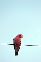 Pink and grey cockatoo on power cord