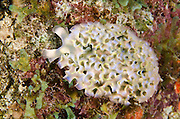 Lettuce Sea Slug (Elysia crispata)<br /> BONAIRE, Netherlands Antilles, Caribbean<br /> HABITAT & DISTRIBUTION: Reefs and other areas where they blend in with algae they eat.<br /> Florida, Bahamas, & Caribbean.