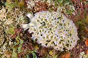 Lettuce Sea Slug (Elysia crispata)<br /> BONAIRE, Netherlands Antilles, Caribbean<br /> HABITAT & DISTRIBUTION: Reefs and other areas where they blend in with algae they eat.<br /> Florida, Bahamas, & Caribbean.