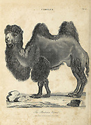Bactrian or Mongolian camel (Camelus bactrianus) Copperplate engraving From the Encyclopaedia Londinensis or, Universal dictionary of arts, sciences, and literature; Volume III;  Edited by Wilkes, John. Published in London in 1810