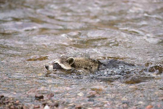 Raccoon, (Procyon lotor) Young raccoon swimming along shore of stream.   Captive Animal.