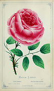 Madam Laffay - Hybrid Perpetual Rose from Dewey's Pocket Series ' The nurseryman's pocket specimen book : colored from nature : fruits, flowers, ornamental trees, shrubs, roses, &c by Dewey, D. M. (Dellon Marcus), 1819-1889, publisher; Mason, S.F Published in Rochester, NY by D.M. Dewey in 1872