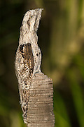 Common Potoo (Nyctibius griseus)<br /> Savannah<br /> Rupununi<br /> GUYANA. South America