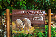 Babirusa exhibit (Babyrousa babyrussa) at the Singapore Zoo, Singapore, Republic of Singapore