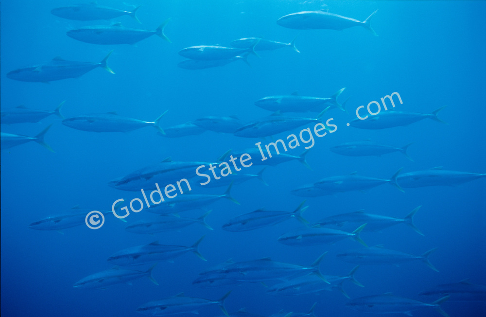 Fast growing pelagic schooling gamefish. Migrates off California in summer months.    <br /> <br /> Range: British Columbia to Chile and subtropical seas nearly worldwide    <br /> <br /> Species: Seriola lalandi