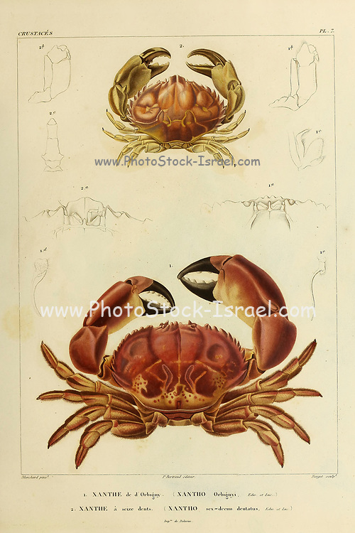 Xanthe or Xantho is a genus of crabs in the family Xanthidae, Crustaceans (Crustacea) form a large, diverse arthropod taxon which includes such animals as crabs, lobsters, crayfish, shrimps, prawns, krill, woodlice, and barnacles hand coloured sketch From the book 'Voyage dans l'Amérique Méridionale' [Journey to South America: (Brazil, the eastern republic of Uruguay, the Argentine Republic, Patagonia, the republic of Chile, the republic of Bolivia, the republic of Peru), executed during the years 1826 - 1833] Volume 6 Part 1 (Crustacean). By: Orbigny, Alcide Dessalines d', d'Orbigny, 1802-1857; Montagne, Jean François Camille, 1784-1866; Martius, Karl Friedrich Philipp von, 1794-1868 Published Paris :Chez Pitois-Levrault. Publishes in Paris in 1843