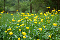 Globeflowers growing wild in a boggy areas at Ashberry Nature Reserve, North Yorkshire. Trollius europaeus