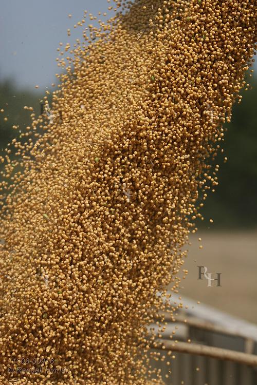 Soybeans pour from hopper auger into grain hauling truck during September harvest; Paris, Illinois.