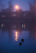 USA, Oregon, Salem, Riverfront Park, Canada Geese (Branta canadensis) hanging out in the fog