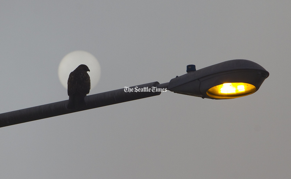 A bird sits  on a street-light pole as the sun tries to peer through the morning fog. (Ellen M. Banner / The Seattle Times)