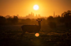 © Licensed to London News Pictures. 07/05/2021. London, UK. Deer graze in Richmond Park as the morning sun rises over the City of London. Colder wetter weather is expected over the weekend and into next week. Photo credit: Peter Macdiarmid/LNP