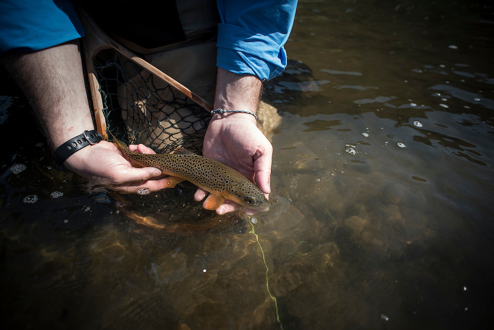 Brown trout from the Driftless Region of Wisconsin.