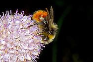 Red-tailed Bumblebee - Bombus lapidarius - feeding male.