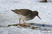 Redshank, Tringa totanus, Elmley National Nature Reserve, UK, walking, grazing marsh, adult, snow, winter.
