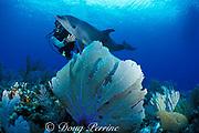 Spot, a wild, lone, sociable bottlenose dolphin, Tursiops truncatus, with Jason Belport, Cayman Brac, Cayman Islands ( Caribbean Sea ) MR 281