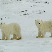 Polar Bear (Ursus maritimus) Two cubs of the year at Cape Churchill, Manitoba. November. Canada. Winter.