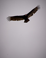 Turkey Vulture. Image taken with a Nikon D2xs camera and 80-400 mm VR telephoto zoom lens.