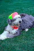 Doggie terrier with hat on.  Washington DC USA