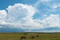 Horses graze under a building thunderstorm near Philip, South Dakota.