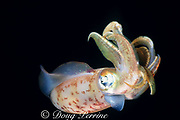 Caribbean reef or Atlantic oval squid, Sepioteuthis sepioidea, St. Kitts ( Eastern Caribbean Sea )