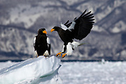 Steller's Sea Eagle, Haliaeetus pelagicus, in flight, flying, coming in to land on sea pack ice, Okhotsk Sea, Rausu, Hokkaido, Japan, japanese, Asian, wilderness, wild, untamed, photography, ornithology, snow, bird of prey, Vulnerable.
