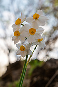 Common Daffodil (Narcissus tazetta) photographed in Israel, in June
