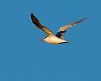 Royal Tern (Thalasseus maximus). Fort De Soto County Park. St. Petersburg, Florida. Image taken with a Nikon D3x camera and 500 mm f/4 VR lens.