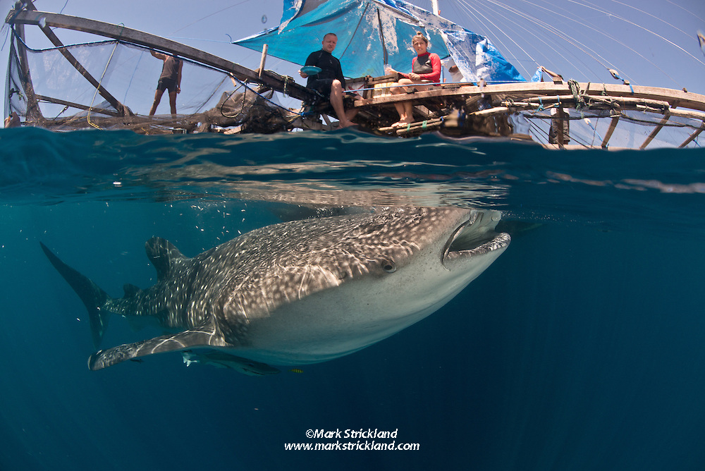 Damai crew Simon and Andrena watch as a whale shark, Rhincodon typus, visits a bagan where fishermen offer it small fish. Kwatisore, West Papua, Indonesia, Pacific Ocean