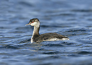 Slavonian Grebe Podiceps auritus - Winter. L 31-38cm. Buoyant little waterbird with beady red eye. Flattish crown and white-tipped, even-shaped bill (both mandibles are curved) allow separation from Black-necked. White patches on both leading and trailing edges of wings are seen in flight. Sexes are similar. Adult has reddish orange neck and flanks. Back is black and black head has golden-yellow plumes. In winter, has black upperparts and white underparts with clear demarcation between black cap and white cheeks. Juvenile is similar to winter adult. Voice Utters trills and squeals at nest. Status Scarce winter visitor to sheltered coastal waters. Rare breeding bird in Scotland, on shallow lochs with abundant sedges.