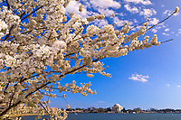 Cherry blossoms, Cherry Tree Walk, Tidal Basin (Jefferson Memorial in background), Washington D.C., U.S.A.