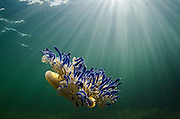 Upside Down Jellyfish (Cassiopeia sp.)<br /> Jardines de la Reina National Park<br /> CUBA
