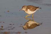 Stock photo of spotted sandpiper captured in Colorado.  This bird is the moste widespread sandpiper in the United States.