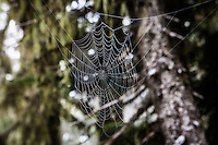 A spider web hanging in the forest trees, Mount Rainier National Park, Washington, USA.
