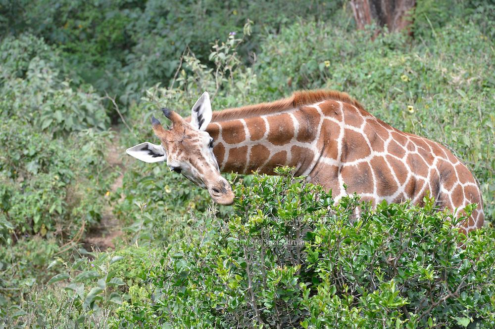 The David Sheldrick Wildlife Trust in Nairobi Kenya cares for orphaned and injured elephants in addition to rhinos Janaury 2014. Photo Suzi Altman
