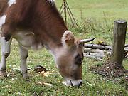 Turkey, Trabzon Province, cow grazes