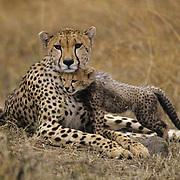 Cheetah, (Acinonyx jubatus) Mother and cub. Serengeti Plains. Masai Mara Game Reserve. Kenya.Africa.