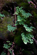 Santana do Riacho_MG, Brasil...Detalhe das Avencas (Adiantum Capillus-Veneris L.) na Lapa da Sucupira localizada no Parque Nacional da Serra do Cipo...The Maidenhair (Adiantum Capillus-Veneris L.) in Lapa da Sucupira at Serra do Cipo National Park...Foto: LEO DRUMOND / NITRO