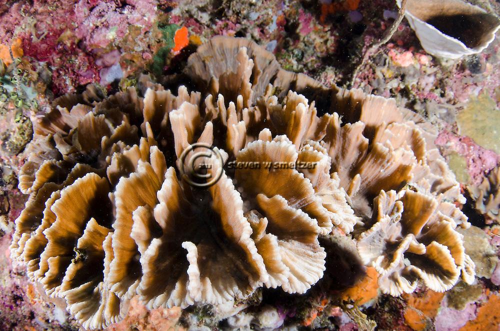 Stony Blade Coral, Bali Indonesia