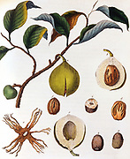 Nutmeg: Myrsitica fragrans, showing fruit containing nut surrounded by ari, the source of mace. Tree native to the Moluccas or Spice Islands, Indonesia. Dutch controlled the trade during 1600s. Hand-coloured engraving c1798