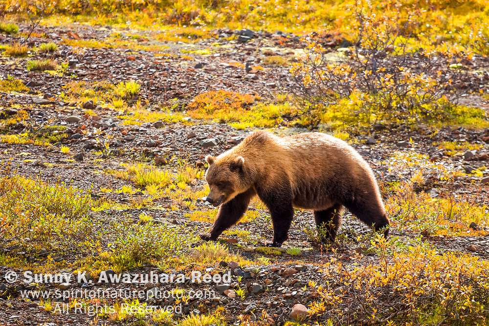 Grizzly Bear stroll on fall color tundra. Denali National Park & Preserve, Interior Alaska, Autumn.
