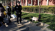 BEIJING, CHINA - NOVEMBER 21:  China Out - Finland Out<br /> <br />  lost pet pig  Wanders the streets in China<br /> <br /> A lost pet pig wanders on the side of the East Chang\'an Avenue on November 21, 2013 in Beijing, China. A police officer followed the lost pet pig to prevent it running into the street. <br /> ©Exclusivepix