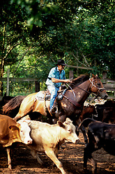 man on a horse herding cattle