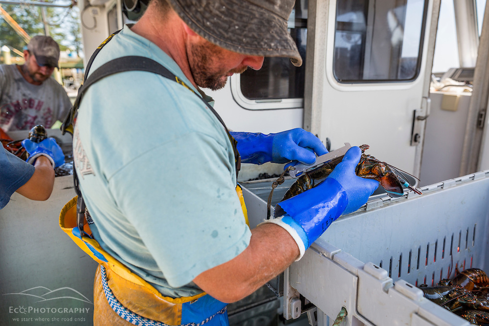 Captain Ryan Post on his lobster boat 'Tall Tales', measuring lobster at the Spruce Head Fisherman's Co-op in South Thomaston, Maine.
