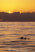 rough-toothed ( roughtooth or roughtoothed ) dolphins, Steno bredanensis, at sunset, Azores ( Acores ) Islands, Portugal ( North Atlantic Ocean )