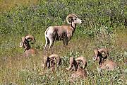 Bachelor group of Bighorn Rams bedded in open, prairie habitat