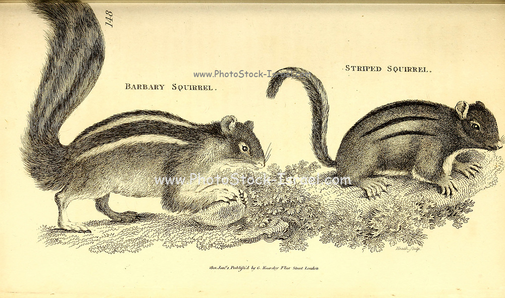 Stripped Squirrel from General zoology, or, Systematic natural history Vol 2 Mammalia, by Shaw, George, 1751-1813; Stephens, James Francis, 1792-1853; Heath, Charles, 1785-1848, engraver; Griffith, Mrs., engraver; Chappelow. Copperplate Printed in London in 1801 by G. Kearsley